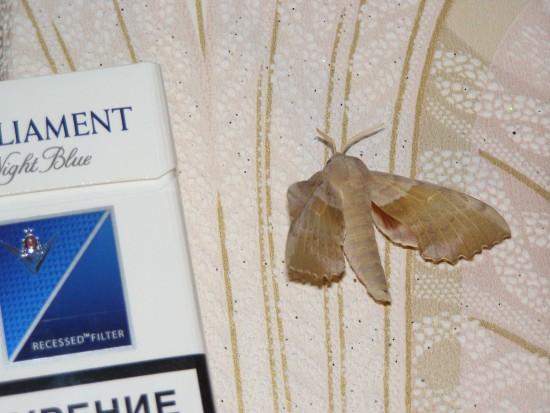 Размах крыльев – 5 см